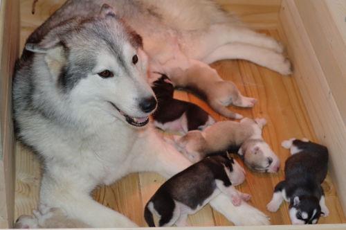Mamma Siberian Huskycon cuccioli