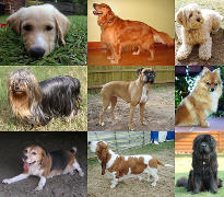 Razze canine - By YellowLabradorLooking_new.jpg: *derivative work: Djmirko (talk) YellowLabradorLooking.jpg: User:Habj Golden_Retriever_Sammy.jpg: Pharaoh Hound Cockerpoo.jpg: ALMM Longhaired_yorkie.jpg: Ed Garcia from United States Boxer_female_brown.jpg: Flickr user boxercab Milù_050.JPG: AleR Beagle1.jpg: Tobycat Basset_Hound_600.jpg: ToB Newfoundland_dog_Smoky.jpg: Flickr user DanDee Shots derivative work: December21st2012Freak [CC BY-SA 3.0 (https://creativecommons.org/licenses/by-sa/3.0)], via Wikimedia Commons