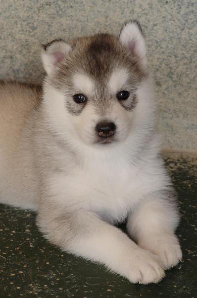 Siberian Husky Quando Arriva Un Cucciolo